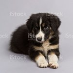 Border Collie Puppy Tri Color 8 Weeks Stock Photo Download Image Now Istock