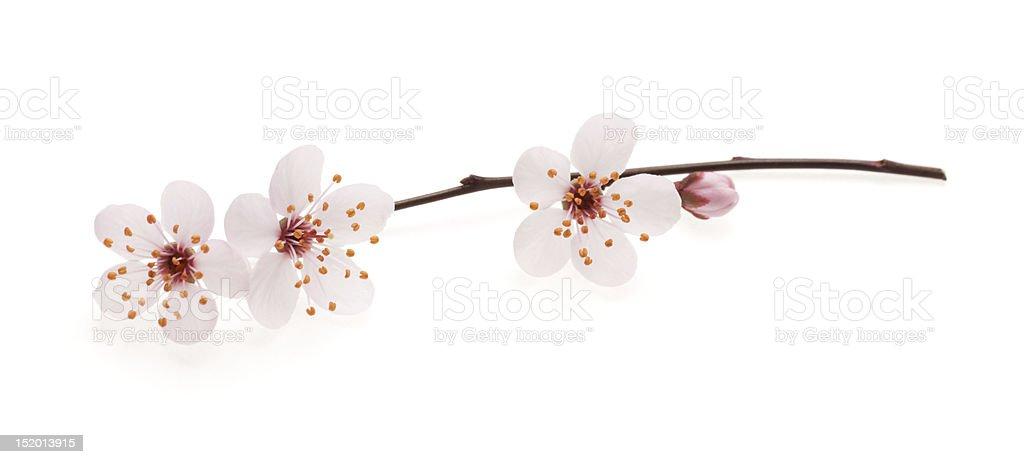 Photo Libre De Droit De Branche De Cerisier Japonais En Fleurs Banque D Images Et Plus D Images Libres De Droit De Amour Istock