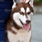 Brown And White Husky Puppy Stock Photo Download Image Now Istock