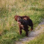 Chocolate Working Type Cocker Spaniel Puppy Dog Pet Running Stock Photo Download Image Now Istock