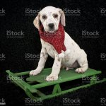 Christmas Lemon Dalmatian Puppy Stock Photo Download Image Now Istock