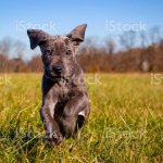 A Cute Great Dane Puppy Runs Towards Viewer Playfully Stock Photo Download Image Now Istock