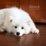 Cute Little Samoyed Puppy Stock Photo Download Image Now Istock