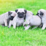 Cute Puppies Pug In Green Lawn Stock Photo Download Image Now Istock