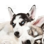 Cute Siberian Husky Puppies On White Background Stock Photo Download Image Now Istock