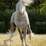 Dapple Grey Drum Horse Stallion Runs Gallop Stock Photo Download Image Now Istock