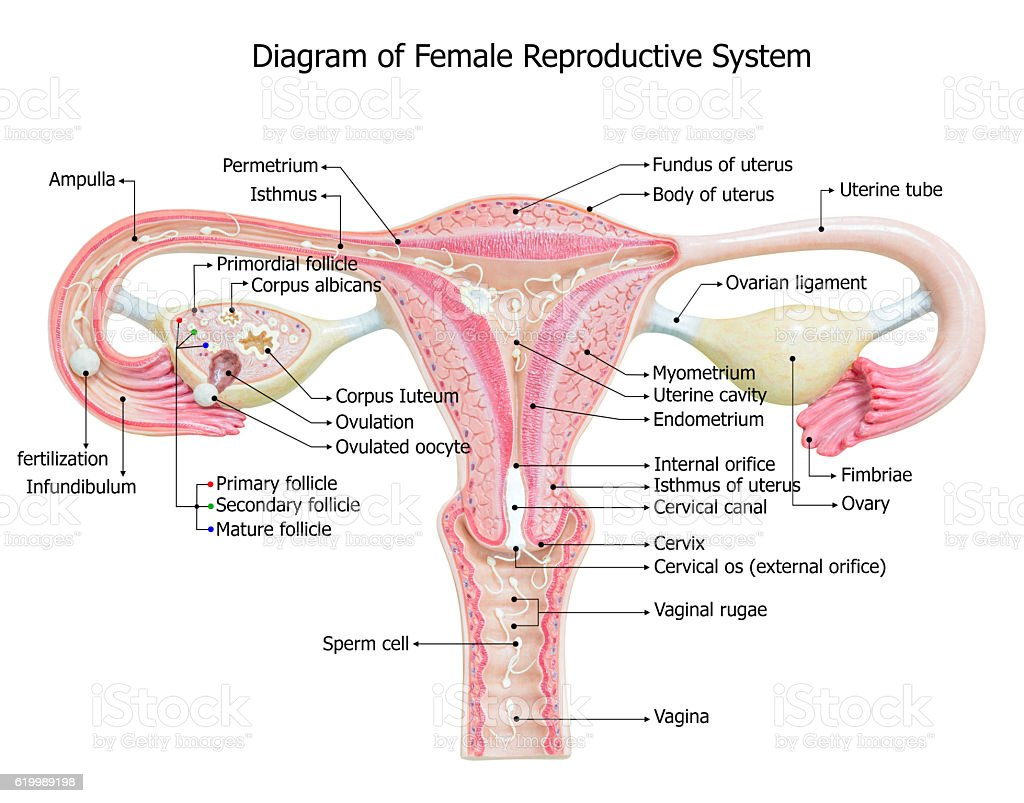 Female Internal Organs Diagram