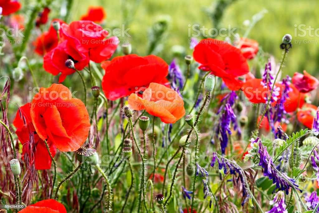 Bild Auf Leinwand Rote Mohnblume Mohnblumen Blumen Wandbilder