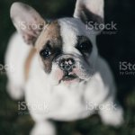 French Bulldog Puppy Stock Photo Download Image Now Istock