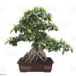 Green Bonsai Banyan Tree Stock Photo Download Image Now Istock