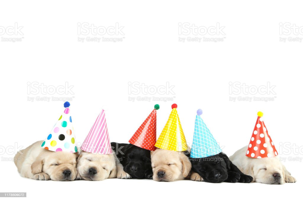 400 Happy Birthday Labrador Stock Photos Pictures Royalty Free Images Istock