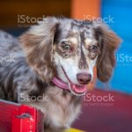 Long Haired Dapple Miniature Dachshund Doxie Puppy Dog Stock Photo Download Image Now Istock