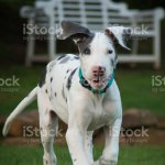 Maggie The Great Dane Stock Photo Download Image Now Istock