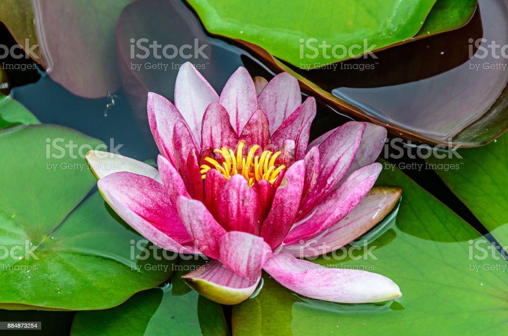 https www istockphoto com fr photo n c3 a9nuphar blanc et rose sur le lac la fleur de lotus avec tapis verts gros plan gm884873254 245945557