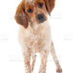 Puppy Brittany Spaniel Stock Photo Download Image Now Istock