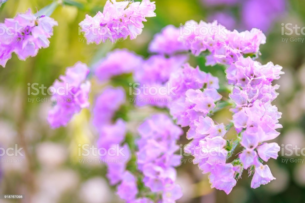 Purple Statice Flowers In Springtime Natural Flowers Background     Purple statice flowers in springtime  Natural flowers background  royalty free stock photo
