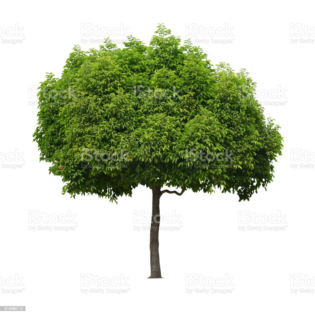 photo libre de droit de un veritable arbre isole fond blanc banque d images et plus d images libres de droit de arbre istock