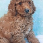 Red Standard Poodle Puppy Stock Photo Download Image Now Istock