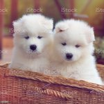 Samoyed Dog Puppies Stock Photo Download Image Now Istock
