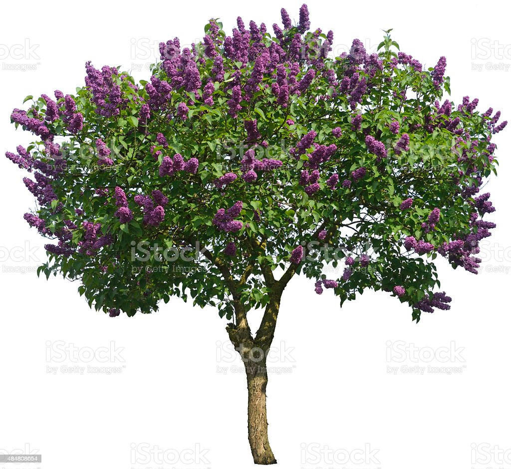 Syringa Vulgaris Or Lilac Tree Isolated On White Stock