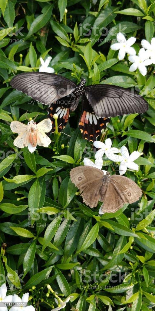 https www istockphoto com fr photo trois types de papillons sasseyant sur la plante verte de jasmin avec des fleurs gm1181142222 331153332