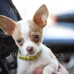 Tiny Chihuahua Puppy With Collar Stock Photo Download Image Now Istock