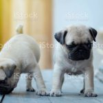 Twin Cute Light Brown Pug Puppies Standing On Wooden Table Stock Photo Download Image Now Istock