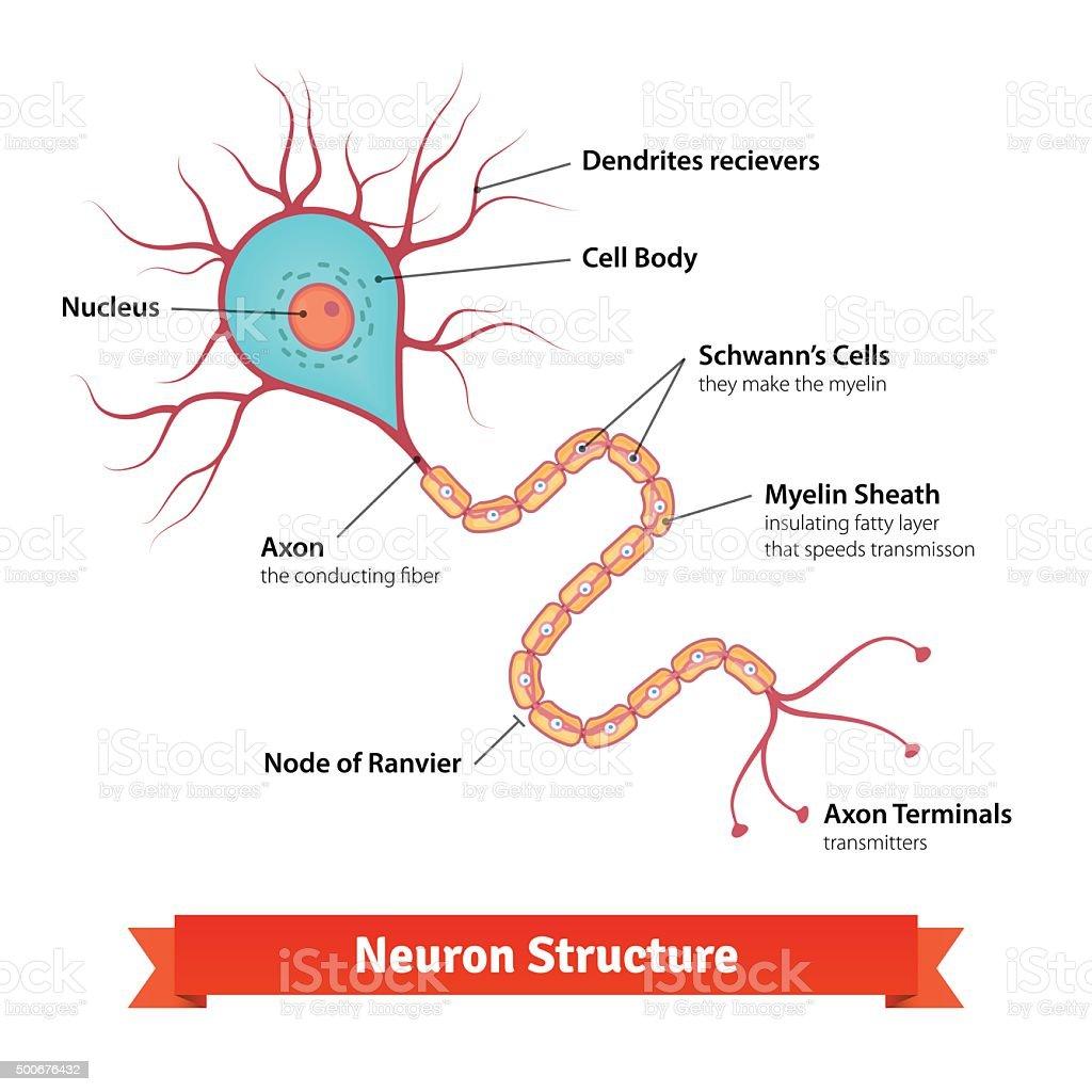 Brain Neuron Cell Diagram Stock Vector Art & More Images