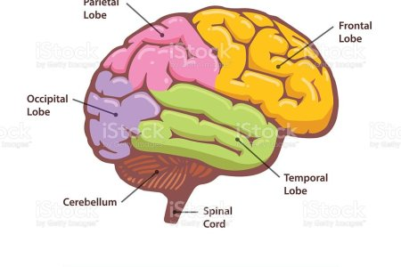 Interior brain labeled electronic wallpaper electronic wallpaper major parts of the brain and how they work how the brain learns a cross section of the human brain simple internal brain diagram block and schematic ccuart Image collections