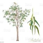 Eucalyptus Gum Tree Vector Illustration Stock Illustration Download Image Now Istock