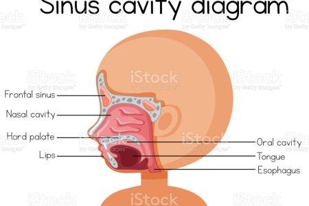 Sinus Cavities Diagram Anatomy Of Sinus Cavities Sinuses Nose Human