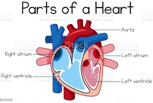Parts Of Heart Diagram Stock Illustration  Download Image