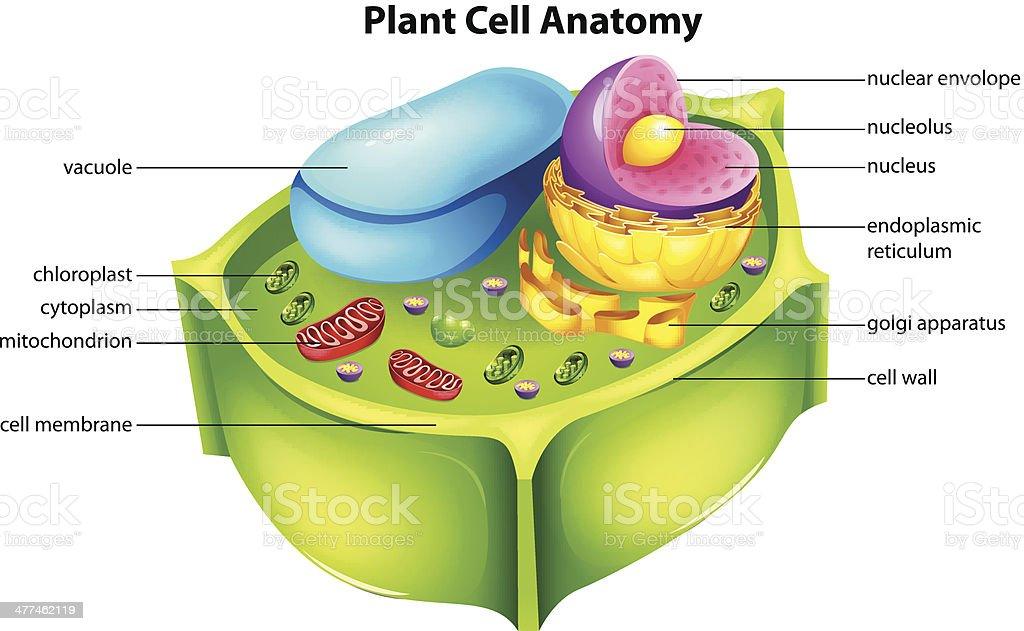 Eukaryotic Plant Cell Diagram