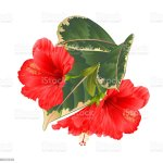 Tropical Flowers Floral Arrangement With Red Hibiscus And Ficus On A White Background Vintage Vector Illustration Editable Hand Draw Stock Images Page Everypixel