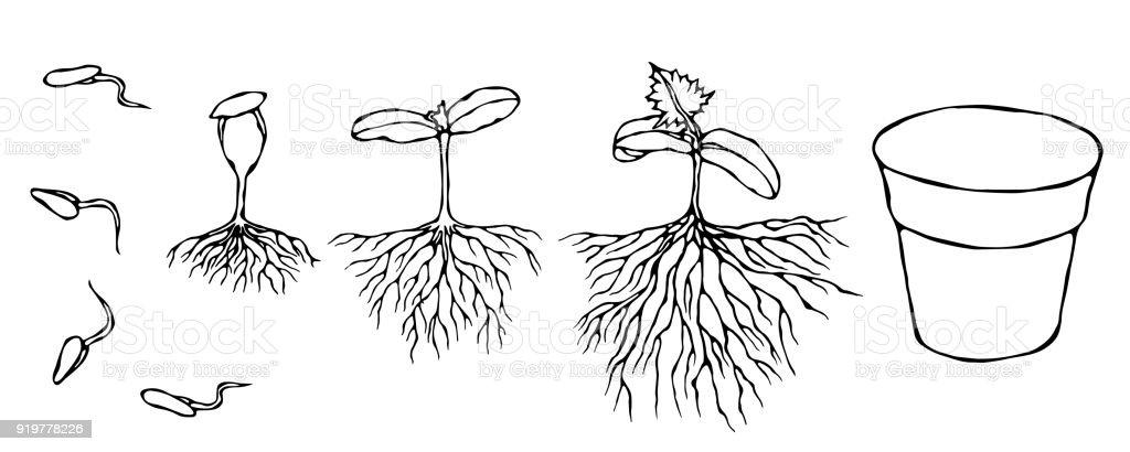 https www istockphoto com fr vectoriel illustration vectorielle de germes et de germination de graines avec des racines gm919778226 252848874