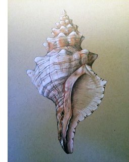 Drawing Seashells at Creative Coast, Cannon Beach, Sandpiper Square, #25 January 21st 1 pm-4pm, Fee: $ 45 members and $65 non-members