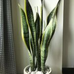 Snake Plant Indoor Home Furniture Furniture Fixtures Others On Carousell