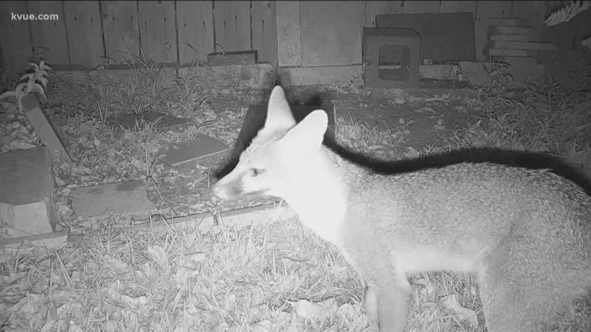 North Austin Resident Worried About Increase Of Foxes In Neighborhood Kvue Com
