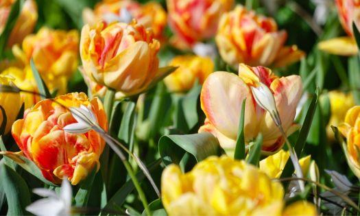 vackra tulpaner i varberg