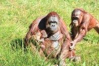 Apa, Borås djurpark
