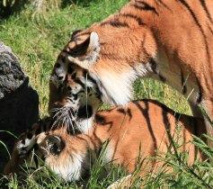 Tiger, Borås Djurpark