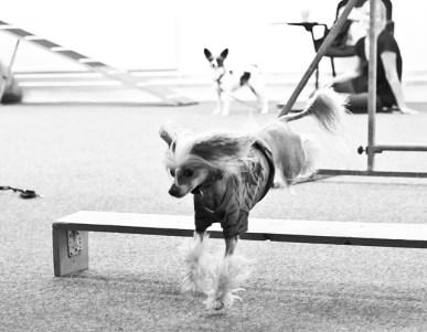 Agility Hundens hus stella hoppar IMG_1366