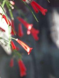Röd blomma Antigua December 2013