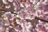 körsbärsblomma IMG_5720