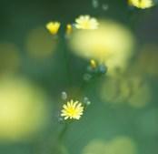 gul blomma IMG_0202