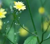 gul blomma IMG_0205