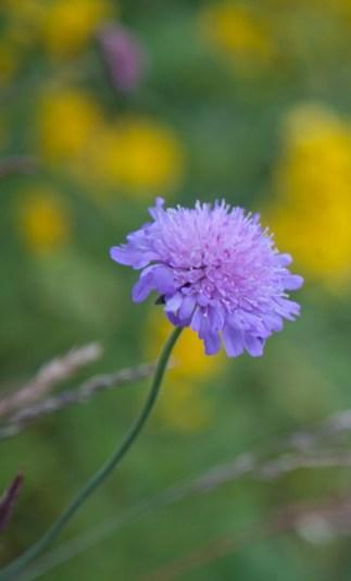 lila blomma IMG_9784