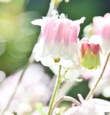 rosa blommaIMG_7844