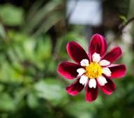 dahlia-röd-rosaIMG_7133