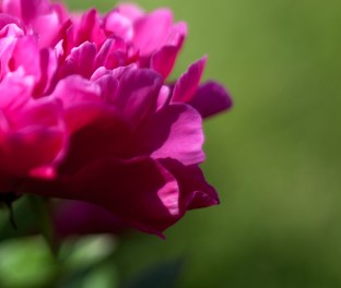 pion-botaniskaIMG_7113